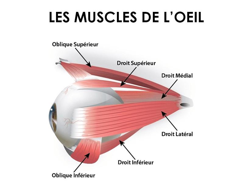 Découvrez tous les muscles des yeux.